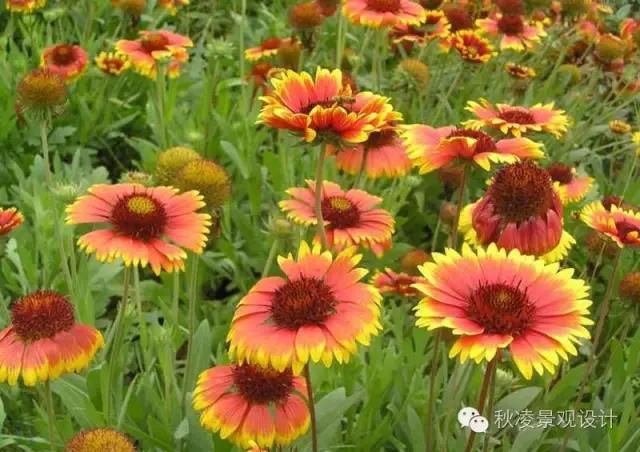 50种常见宿根花卉